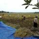 padi baru